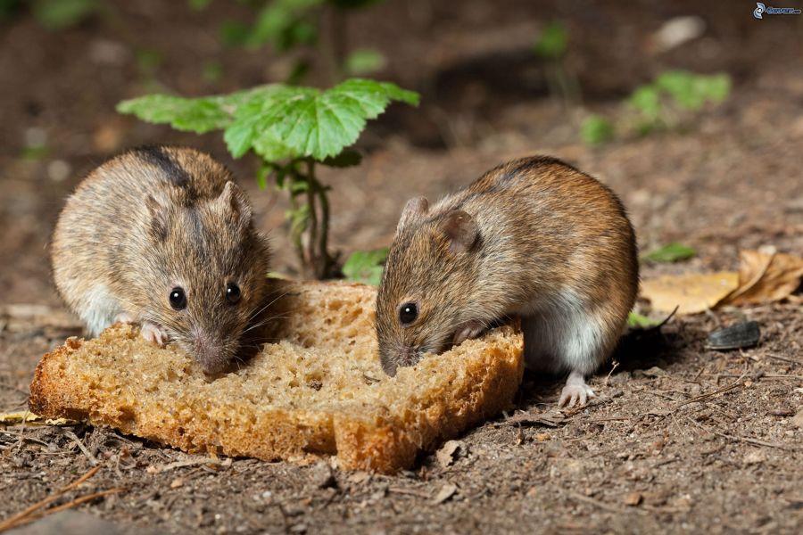 Plagas de roedores