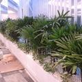 Jardineras con palmas rafis