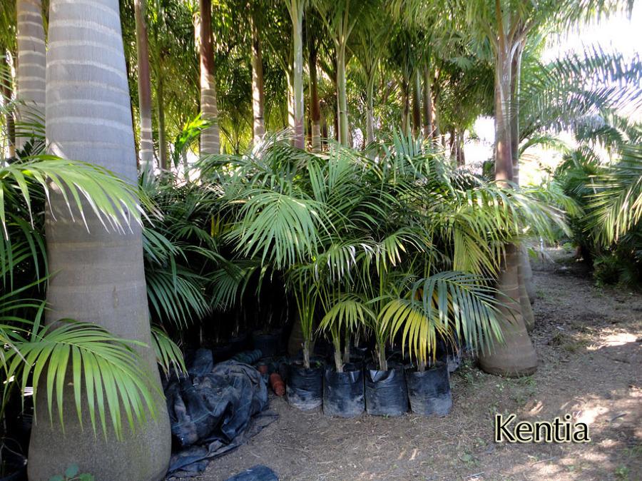 Foto kentia de las palmas vivero 8990 habitissimo for Vivero las palmas