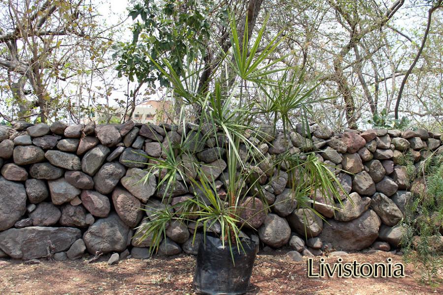 Foto llorona de las palmas vivero 8991 habitissimo for Vivero las palmas