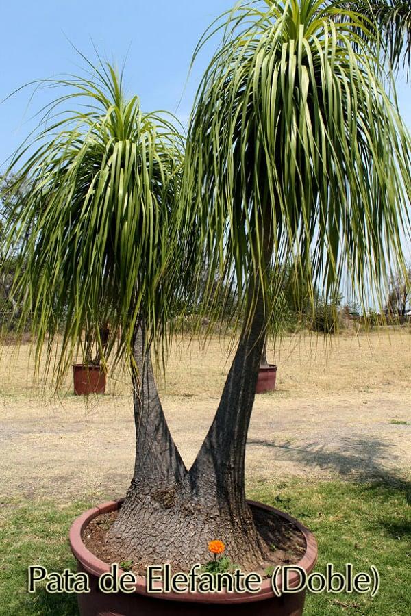 Foto pata de elefante de las palmas vivero 8993 for Vivero las palmas