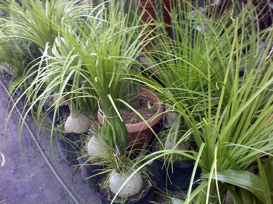 Foto plantas de ornato de jardineria la encantada for Jardineria y plantas