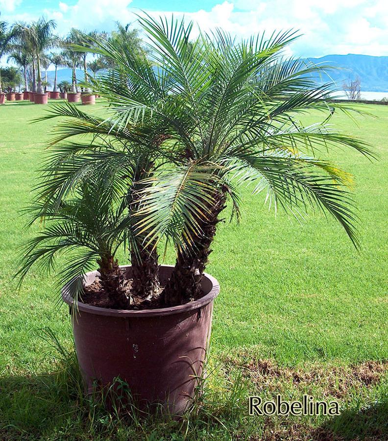Foto robelina de las palmas vivero 8996 habitissimo - Fotografia las palmas ...