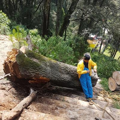 Derribo de árbol por riesgo