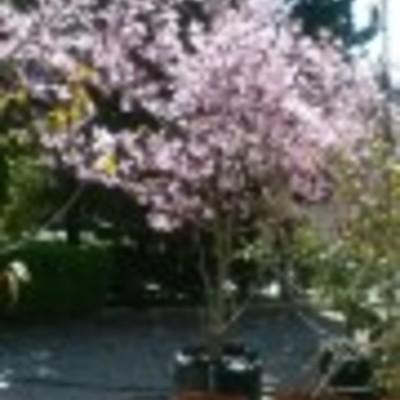 Cerezo Japones o Sakura