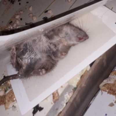 roedor (rata)