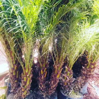 Venta de palmeras