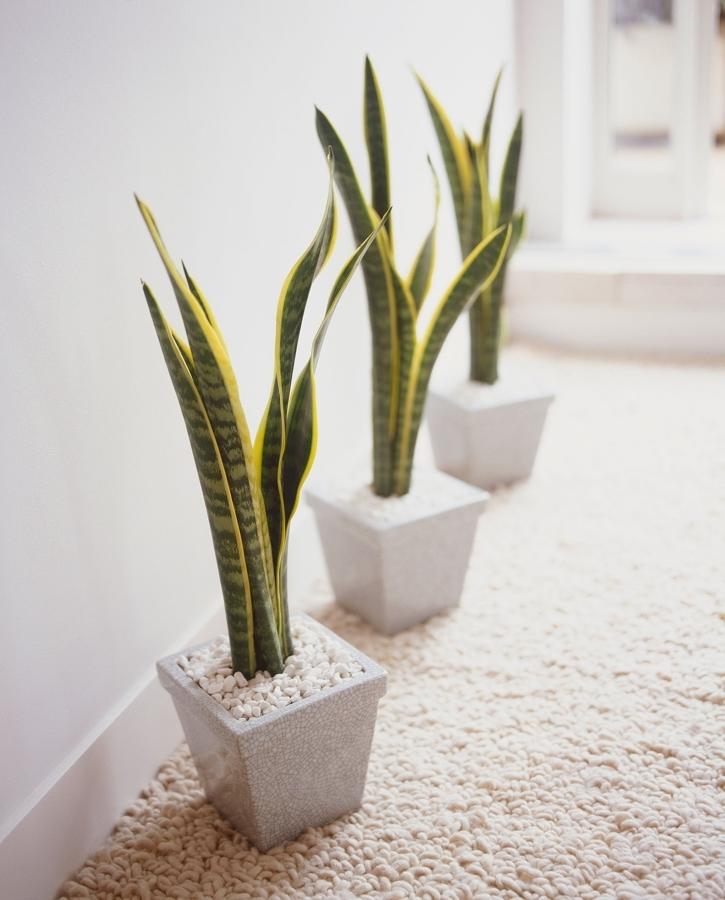 Foto plantas lengua de suegra peque as 302705 habitissimo for Plantas de interior lengua de gato