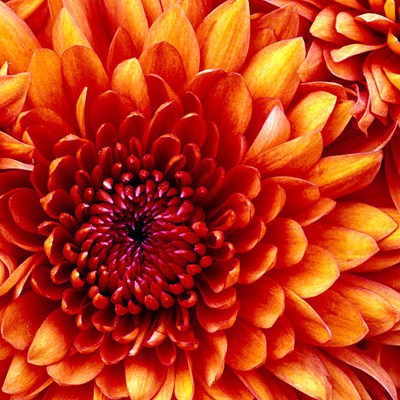Chrysanthemum_28333