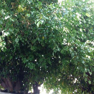 Podar dos arboles altos en el patio de mi casa jardin for Arboles altos para jardin