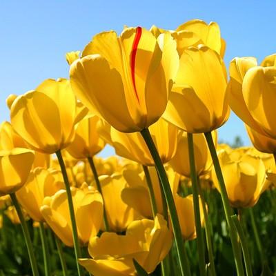 Tulips_38369