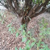 Corte de arbol (manzano) y jardin c/recolección de su basura