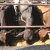 Corrales para engorda de ganado